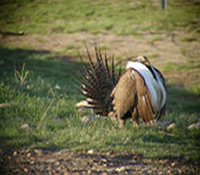Picture of a sage grouse